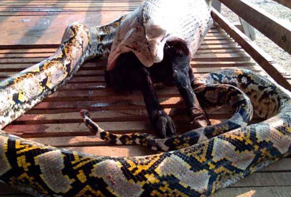 Ketika bomba sampai di lokasi ular terbabit sedang cuba menelan seekor kambing dewasa. - Foto JBPM | Astro Awani