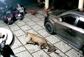 Tular harimau bintang serang anjing, ini reaksi pihak polis
