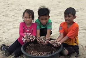 Fenomena kerang terdampar di pantai Marang, penduduk bagai berpesta!
