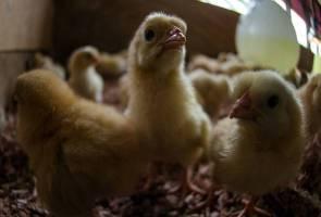 Ribuan anak ayam diberi kepada pelajar sekolah, alih perhatian daripada guna telefon pintar