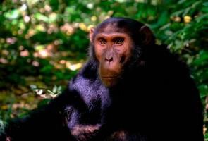 Cimpanzi bunuh, 'lahap' buah pinggang kanak-kanak