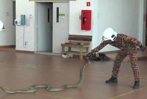 'Benda panjang' bawah katil disangka tali, rupanya ular