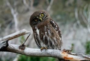 MPOB setuju penggunaan burung hantu kawal tikus di ladang sawit