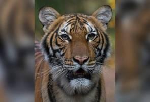 Harimau Malaya di New York positif COVID-19