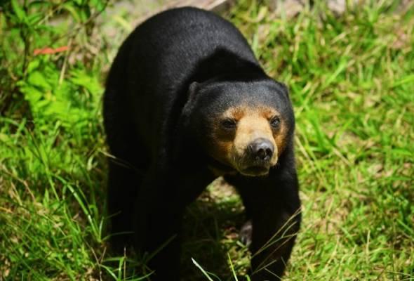 Beruang matahari Malaysia terancam susulan China lulus penggunaan hempedu rawat COVID-19
