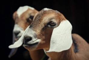 Penternak kerugian RM28,000 apabila 40 kambing Boer mati diracun