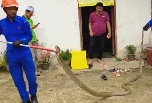 Sekeluarga terkejut ular tedung selar 10kg menyusur masuk rumah