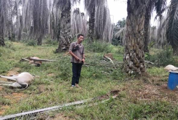 20 lembu mati bergelimpangan dalam kebun kelapa sawit
