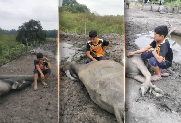Hawar berdarah ragut 35 ekor kerbau peliharaan, 'Mowgli Malaysia' berduka