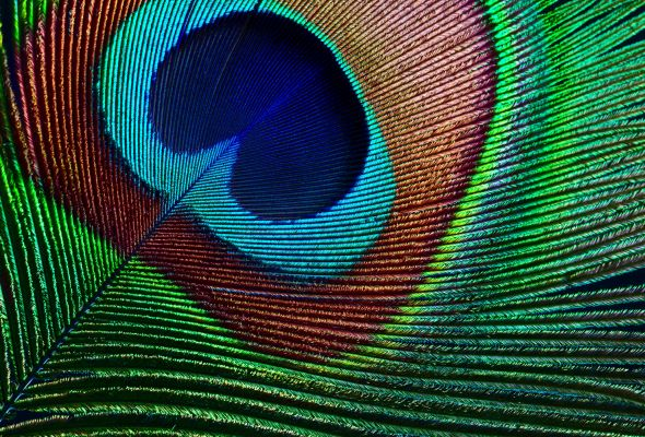 When we think of the peacock in terms of interiors, subtle touches are key to avoid committing a decorative faux pas.